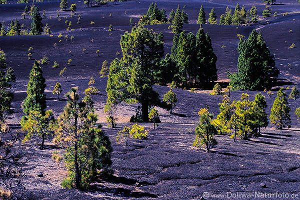 Vulcano pines ash lava moonscape photo Cumbre Nueva La Palma canary islands