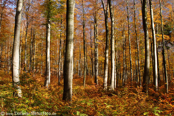 Forest golden-autumn trees trunks leaves nature photo Harz nationalpark splendor-colors